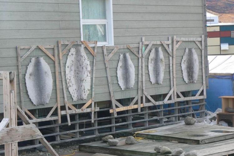 Pelts drying on racks